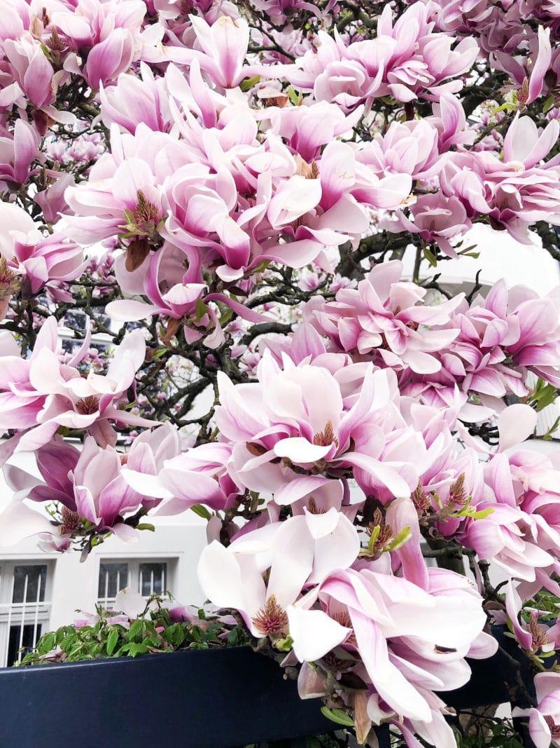 magnolien köln