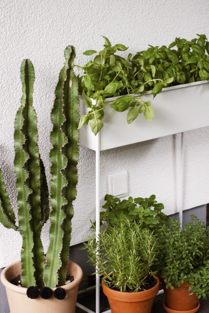 basilikum richtig pflanzen